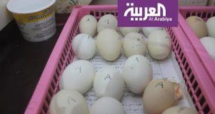 شاهد: تناول قشر البيض لعظام قوية