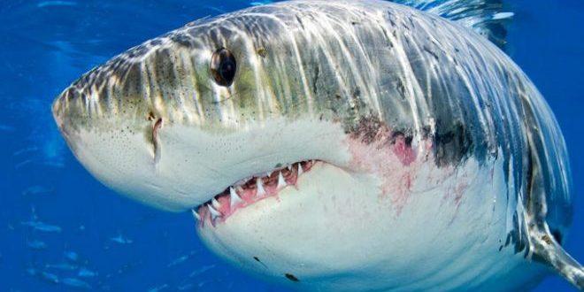 اكتشاف مروع في أحشاء أسماك القرش البيضاء