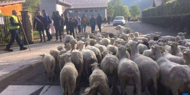 """بهدف """"إنقاذ الفصول"""".. تسجيل 15 خروفا في مدرسة ابتدائية"""