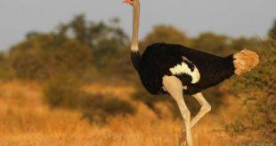 """""""النعامة الهائلة"""".. اكتشاف أضخم طيور ما قبل التاريخ"""