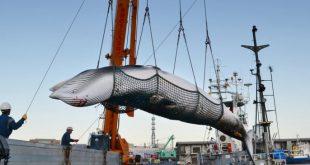 بعد 30 عاما امتناع.. اليابانيون يستعدون لصيد الحيتان