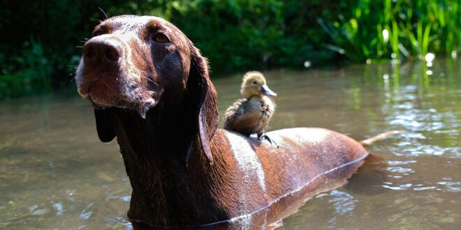 صداقة غربية بين كلب وبطة فى بريطانيا