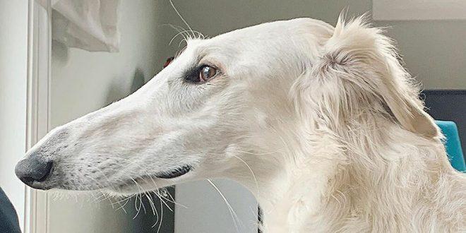 طولها 31 سم.. قصة الكلبة إيريس صاحبة أطول أنف فى العالم