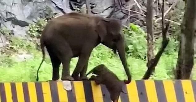 أمومة.. فيلة تساعد ابنها فى عبور حاجز على الطريق فى الهند