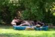 سيدة تلتقط صورا لدب أسود كبير يأخذ قيلولة فى حمام سباحة بمنزلها