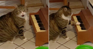 قط يعزف على البيانو لإبلاغ صاحبته بالجوع فى أمريكا