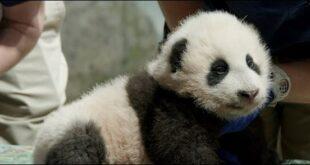 حديقة حيوانات أمريكية تختار اسما لصغير باندا بعد استفتاء الجمهور