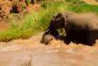 سر الأمومة.. أنثى فيل تنقذ صغيرها قبل الغرق في نهر كيني