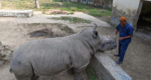 أنثى وحيد قرن ببنجلاديش تبحث عن رفيق منذ 7 أعوام