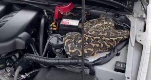 امرأة تكتشف ثعبانا طوله 2 متر مختبئا فى محرك السيارة بأستراليا