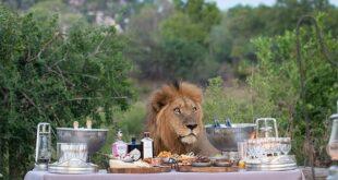 زوار حديقة بجنوب إفريقيا يفاجأون بـ'أسد' يشاركهم مائدة الطعام