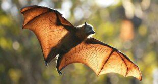 ظهور فيروس الخفافيش النادر بفرنسا بعد وفاة مسن عانى من التهابات حادة بالدماغ