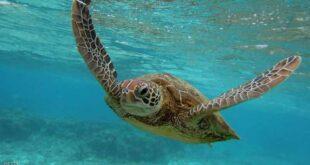إعادة آلاف السلاحف البحرية فى تكساس للمياه بعد إنقاذها من الموت