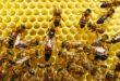 ماذا يحدث عندما تموت ملكة النحل في الخلية؟