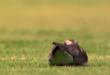 طائر يقتحم مباراة بالدورى البرازيلى ويضع بيضة داخل أرضية الملعب