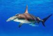 عالمة أحياء تسبح بجوار أخطر سمكة قرش فى العالم