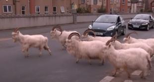 مدينة بريطانية تتحول إلى ملجأ لتنزه الماعز في الشوارع بسبب كورونا