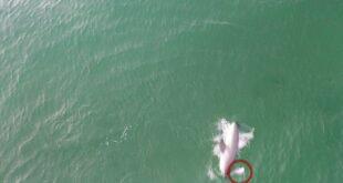 مطاردة بين 'قرش' وسمكة 'الراى اللاسع' على بعد أمتار من شاطئ بسيدنى