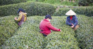 جولة سياحية لتجربة قطف وشراء أوراق الشاى الأخضر فى مزارع صينية