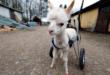 فتاة ألمانية تمنح حيوان 'ألباكا' معاق كرسى متحرك