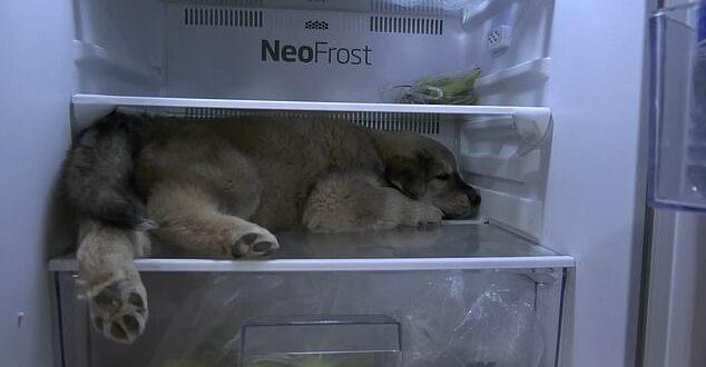 كلب صغير يجلس داخل ثلاجة الطعام هربا من ارتفاع درجات الحرارة