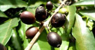 اكتشاف حبة نادرة تعيد الأمل لإحياء صناعة القهوة في سيراليون