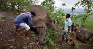 بعد نفوق لبؤة.. فحص 28 فيلا في الهند