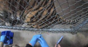 حديقة حيوان سان فرانسيسكو تلقح القطط والدببة والنمور ضد فيروس كورونا