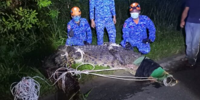 اصطياد تمساح طوله 5 أمتار ووزنه 700 كيلو وتسليمه للمتخصصين فى ماليزيا