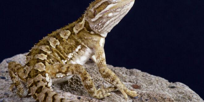 اكتشاف نوع جديد من السحالي في جنوب البيرو