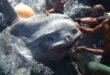 اصطياد سمكة عملاقة وزنها 2 طن على قارب صغير لصيد التونة