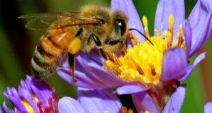 تجربة هولندية لتدريب النحل على تحديد العينات المصابة بفيروس كورونا