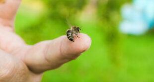 فوائد قرصة النحل.. حقيقة أم خرافة؟